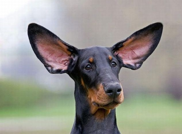 What if the dog is shaking ears
