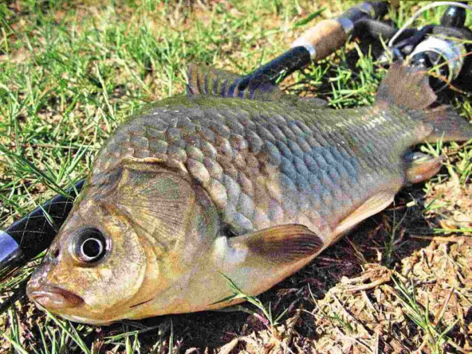 When spawning carp