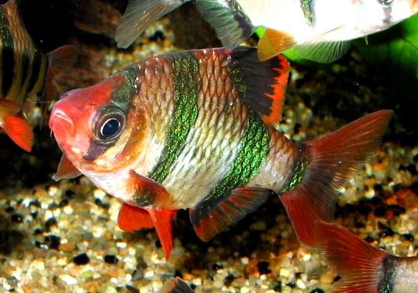 Суматранский барбус - красивая и забавная рыбка!
