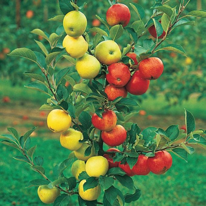 Прививка яблони – оптимальный метод получения разных культурных сортов