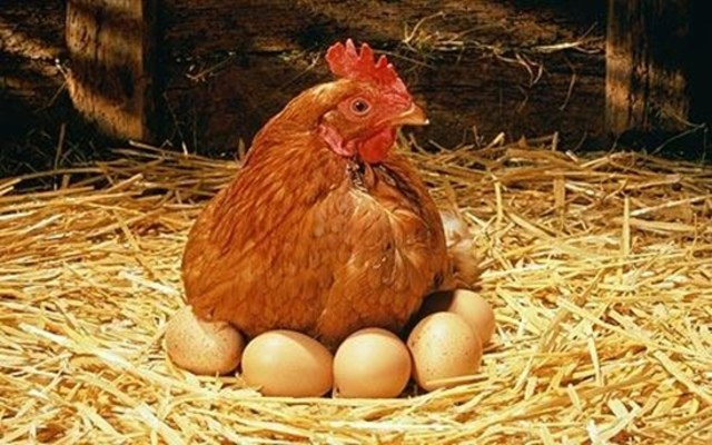Of laying hens can be kept in the country