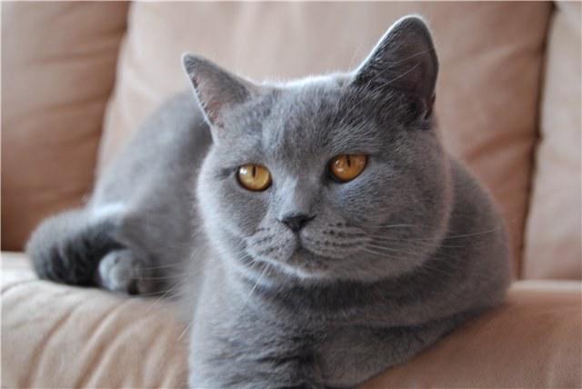 Кошки породы шартрез умны и красивы