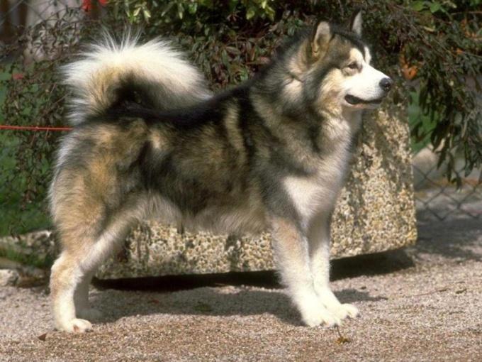 Лучшая собака для охоты на кабана - лайка