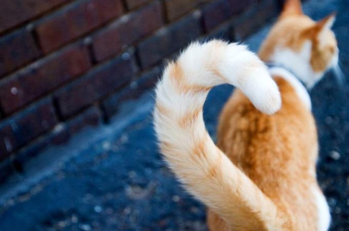 Кошка с переломанным хвостом: исключение или норма
