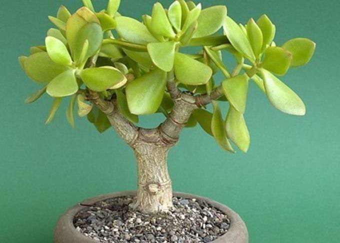 Сад чудесный на окне: цветы «денежное дерево»