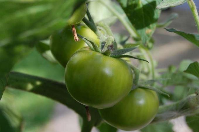 Как сделать икру из зеленых помидор на зиму