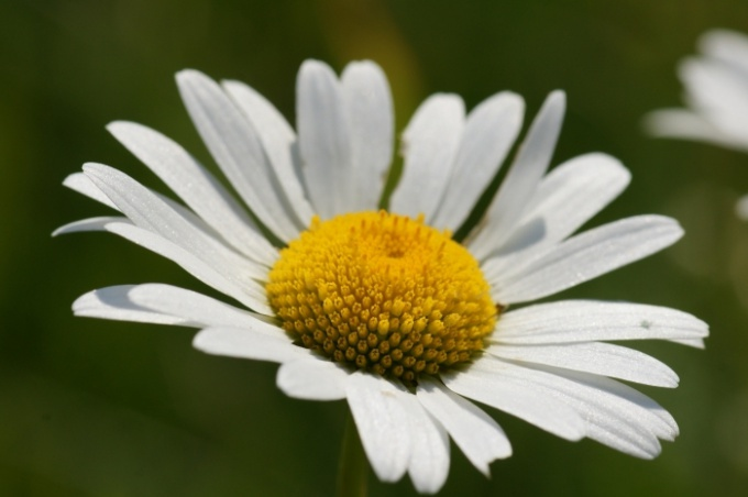 The use of chamomile in hair care