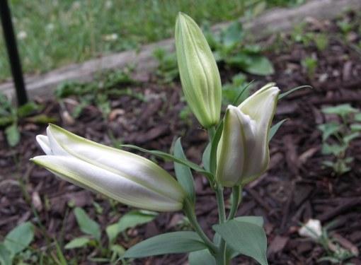 Как высаживать луковицы лилии