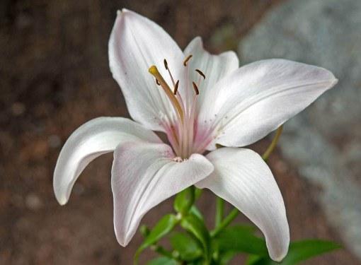 Лилия - королева цветника
