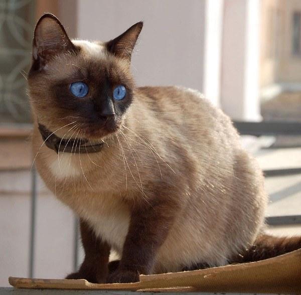 Какой характер у сиамской кошки