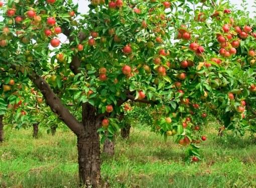 Пересадка взрослого дерева - дело нелегкое, но осуществимое