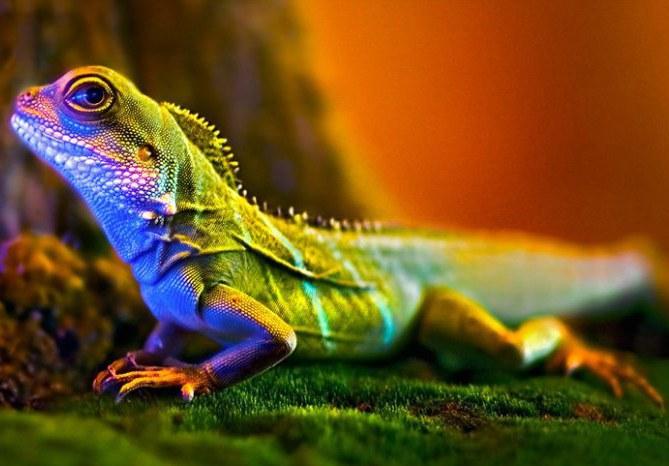 Игуана - одна из самых красивых экзотических ящериц