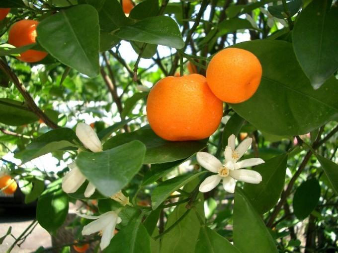 Как ухаживать за мандарином