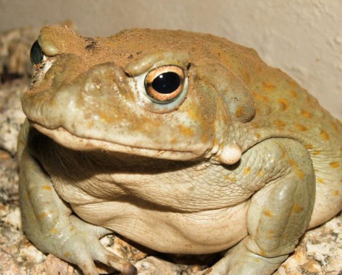 Представительница отряда бесхвостых амфибий - жаба ага