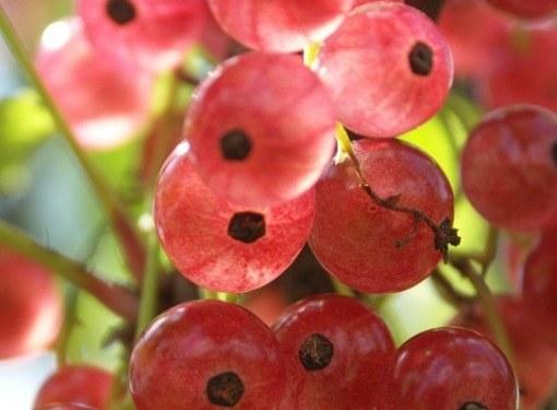При правильном уходе розовая смородина отличается высокой урожайностью