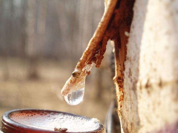 Когда собирать и как пить березовый сок