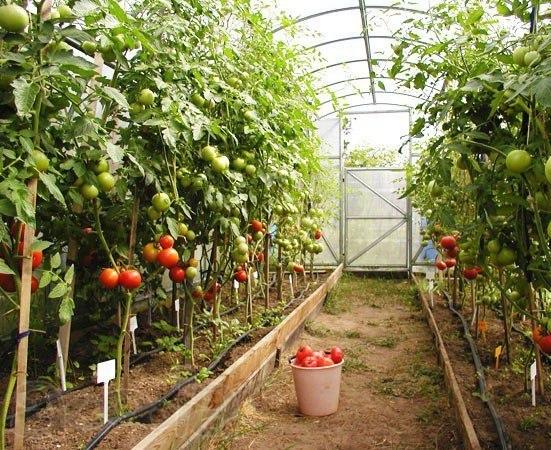 Выращиваем высокие урожаи в правильно выбранной теплице для дачи