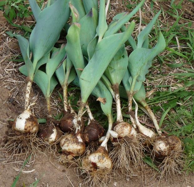 When to dig up tulips and daffodils