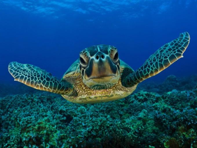 Как завести морскую черепаху