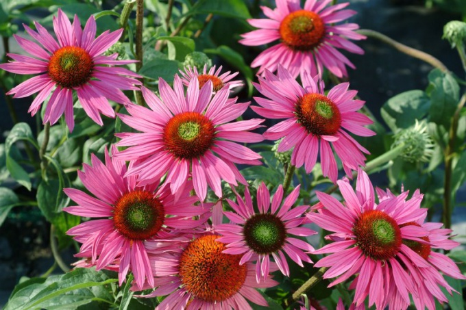 Echinacea purpurea is one of the most remarkable plants that strengthen the body's defenses