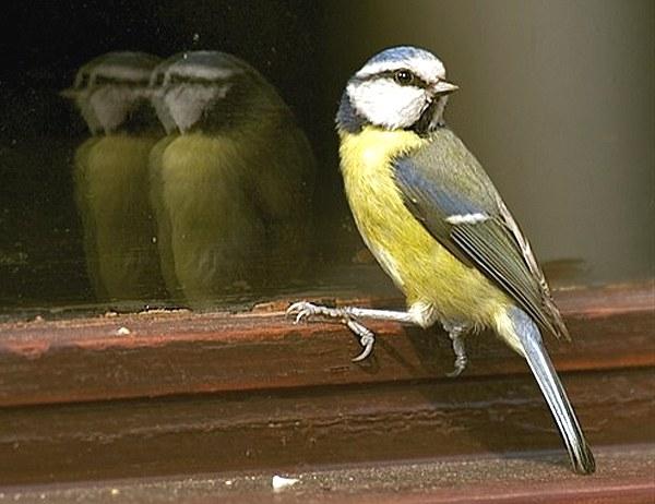 Птица бьется в окно вовсе не к беде!