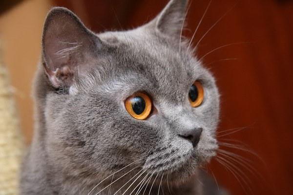 Прежде чем завести кошку, заранее узнайте все особенности ее породы