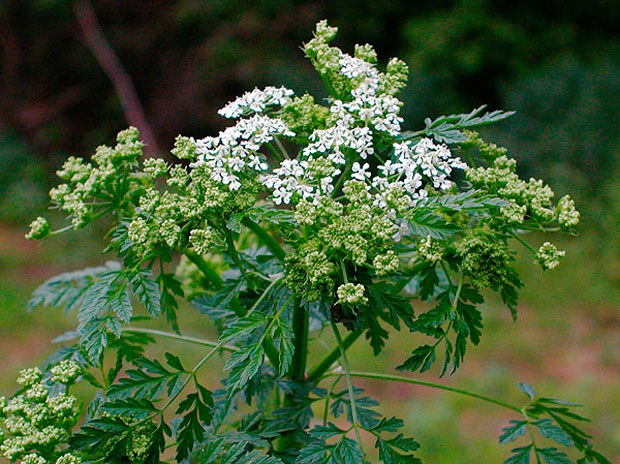 How to treat Hemlock