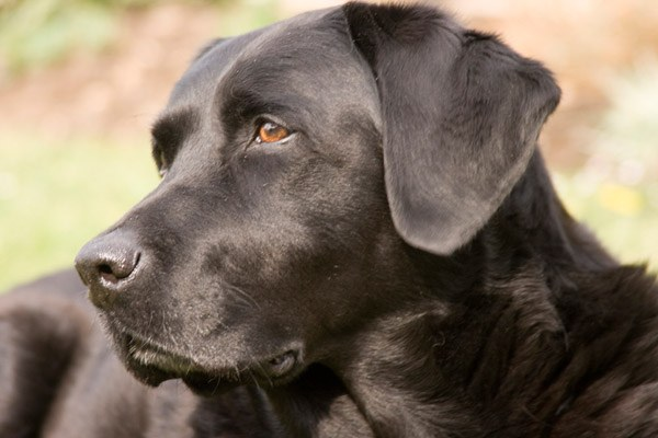 A staph infection the dog should be treated well!