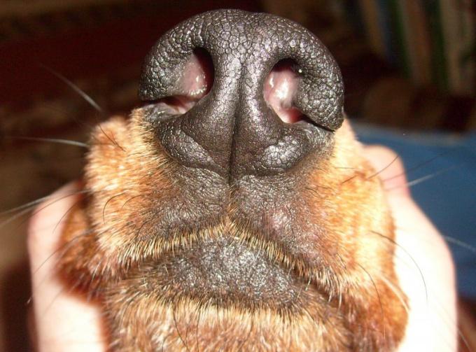 Насморк у собаки может говорить о различных заболеваниях