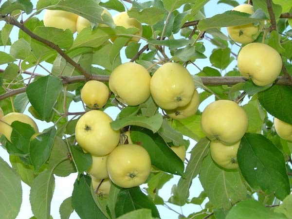 Какой сорт яблок самый полезный