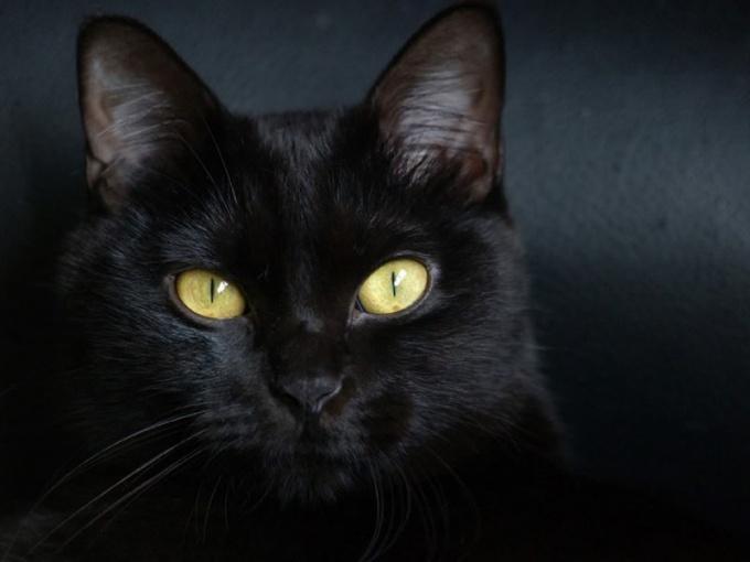 Примета с черной кошкой - самая знаменитая в мире!