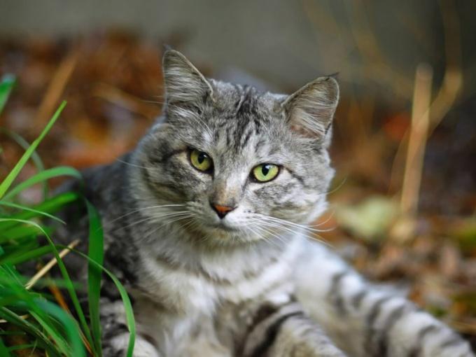 Календарь прививок гуляющей кошки обширнее, чем у домашней