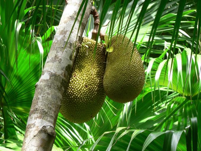 Плоды хлебного дерева