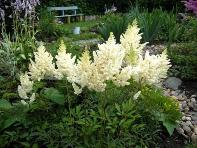 Цветок астильба - любимица тенистого сада
