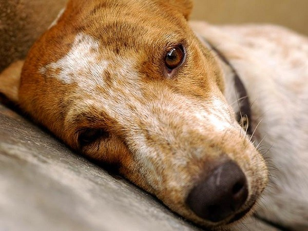 How to treat moist dermatitis in dogs