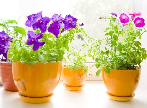 Potted plants need more nutrients than plants of open ground