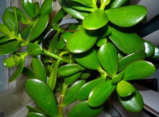 Богатство денежного дерева - в его здоровых и сочных листьях