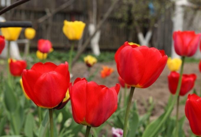 Радуемся тюльпанам весной. Сажаем с учетом правил
