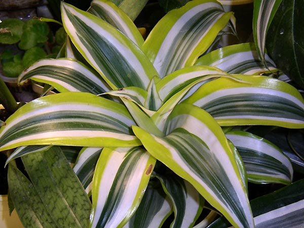 Why dracaena leaves lowered