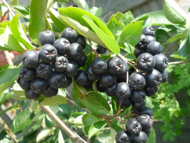 Рябина черная - одна из самых полезных ягод