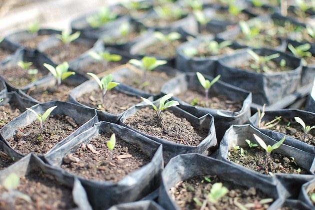 Как высаживать рассаду баклажанов в грунт