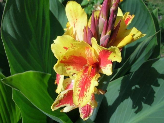 Канна: цветок из древности