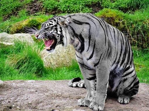 Так фотохудожники представляют себе мальтийского тигра, на основе фотографии обычного тигра