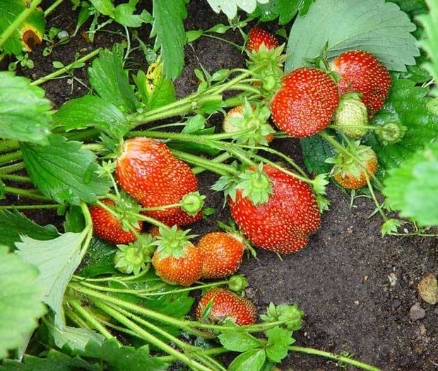 What to feed strawberries in August