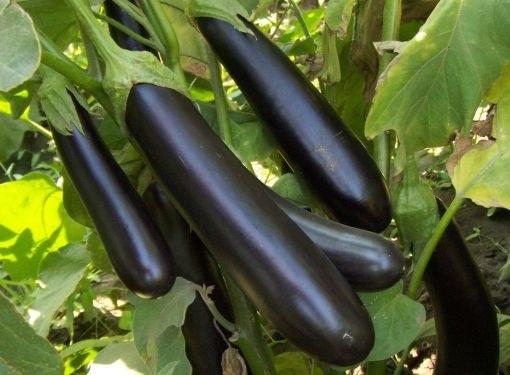 Баклажаны лучше всего выращивать рассадой