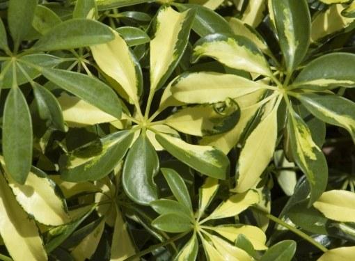 Шеффлера отличается высокой декоративностью листьев