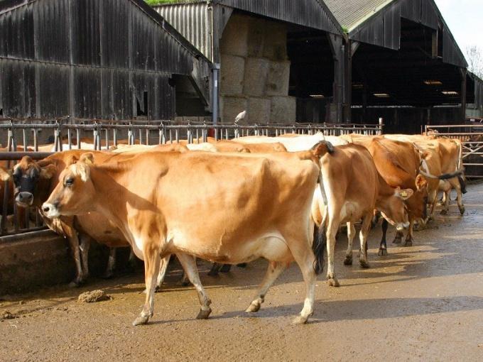 Молочная корова (изображение с сайта Photogen)