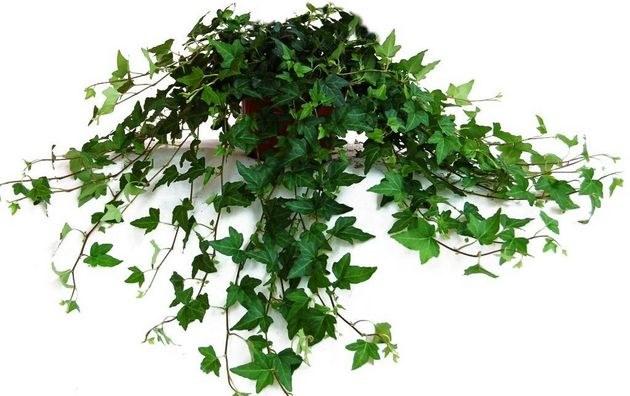 Комнатное вьющееся растение