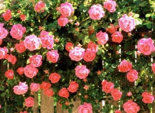 Особенно широко используются плетистые розы в создании живых изгородей