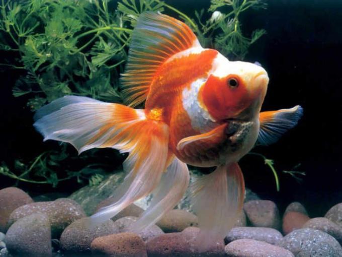 Как ухаживать за золотой рыбкой